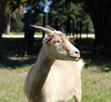 Goat 2 by aswonder