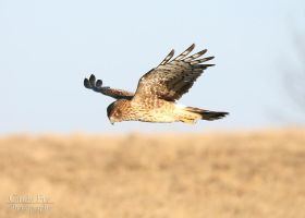 Northern Harrier by lost-nomad07