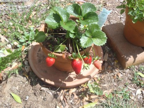 Stawberries in a pot by Catprog