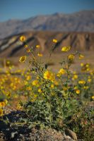 Death Valley Flowers by ajithrajeswari
