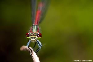 Damselfly by tiagojsilva