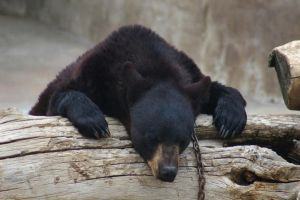 Hogle Zoo - Bear Hangover by LycanDID