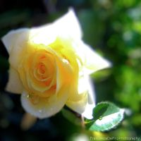 Yellow rose II by FrancescaDelfino
