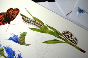Echium vulgare and Melitaea didyma, WIP by Shelter85