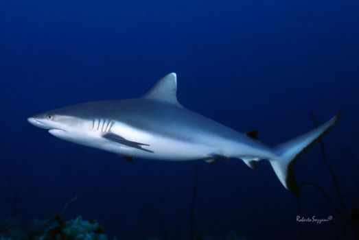 Grey Reef Shark 2 by LazyDugong