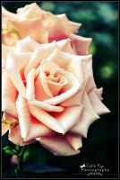 A Rose is a Rose by CatsEyePhotography