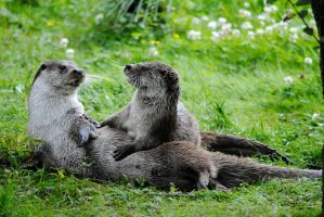 Otters Playing by super-robotmonkey