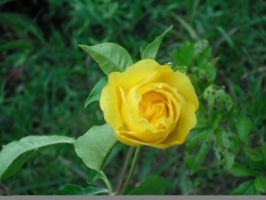 yellow flower of  nature by huntress-kaller