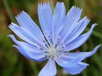 Chicory by VasiDgallery