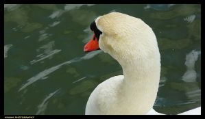 Swan by Arawn-Photography