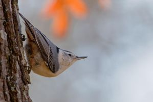 White Breasted Nuthatch 2 by bovey-photo