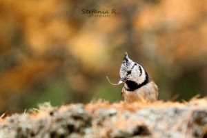 Crested tit by Stefania-R