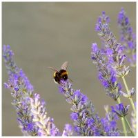 Bumblebee on lavender by Jorapache
