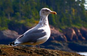 regal gull... by shotsfiredimagedown
