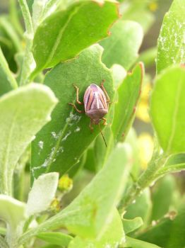 Shield Bug on Patrol by jellybush