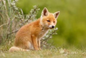 Cute Fox Cub by thrumyeye