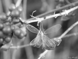 lacewings by pixi5