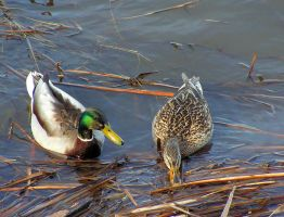 Mallard Ducks In Spring by JocelyneR