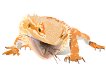 Bearded Dragon Vector by PapaJohnny