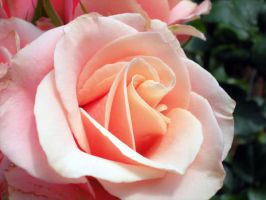 pink rose- longwood by tHeFuNhOuSe