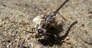 dragonfly 2 by ibartley