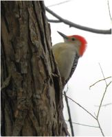 Red-Bellied Woodpecker by SuicideBySafetyPin