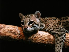 Ocelot Stock 1 by HOTNStock