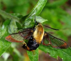 Dolls Clearwing Moth by natureguy