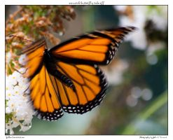 monarch butterfly take off by yellowcaseartist