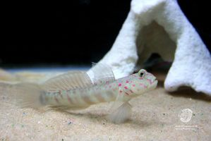 Pink Spotted Watchman Goby 1 by leopardwolf
