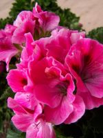 Pink Flowers by theNanna