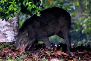 Wild boar finding food by GreenNexus51
