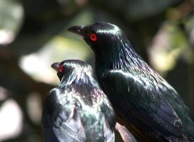 Two Metallic Starlings by Ciameth