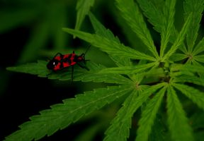 cannabis bug by InayatShah