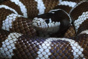 eastern kingsnake (Lampropeltis getula) by Daan-NL
