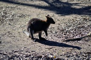Red-Necked Wallaby by Vesperity-Stock