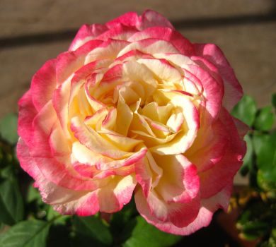 Rose 060314 01 by acurmudgeon
