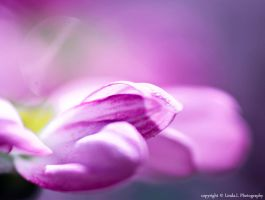 Soft Pink by lindahabiba