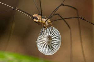 Harvestman eating Mushroom by melvynyeo