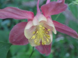 my Columbine 2 by crazygardener