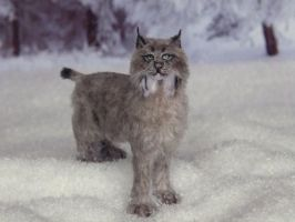 Canadian Lynx by AnyaStone