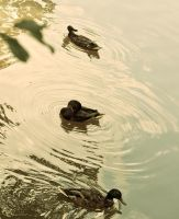 Ducks by Jibril85