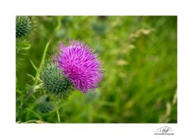 Macro thistle - with border and sig by Paul-Madden
