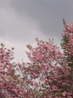 Flowering Tree stock by thiselectricheart