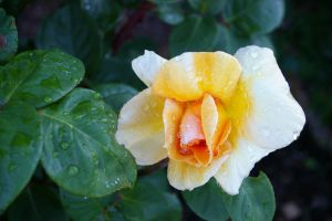 Yellow Rose by FallowpenStock