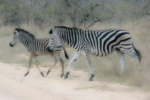 Wild Zebra by PeterTBexley