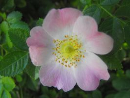 Pink Beauty Potentilla by Photos-By-Michelle