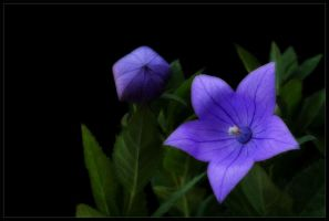 BALLOON FLOWER by THOM-B-FOTO