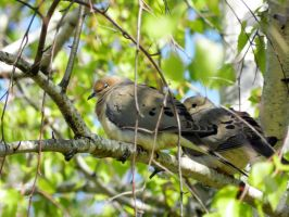 Two Mourning Doves by WickedOwl514