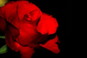 They Call Me The Wild Rose by Fridapida